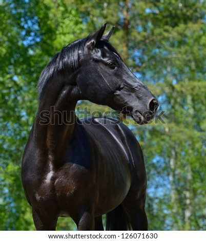 Portrait of black stallion of Russian riding breed
