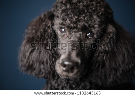Portrait of black standard poodle