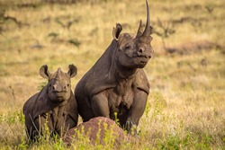 Portrait of Black White Rhino Mum with Baby Rhino on top of termite hill, Lewa Conservancy, Kenya, Africa