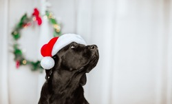 Portrait of black young Labrador retriever in Santa's cap against white background with Christmas wreath. Copy space.