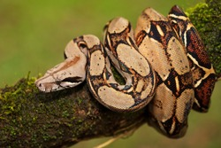 Portrait of Boa Constrictor (Boa constrictor) wrapped around branch