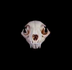 Portrait of Bobcat Skull