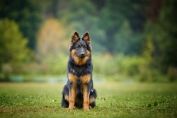 Portrait of Bohemian shepherd dog, purebred, with typical black and brown color marks. Hairy dog similar to German shepherd. Dog breed native to Czech republic.