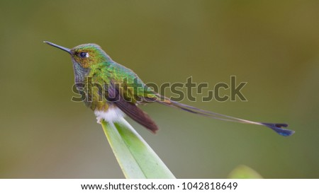 Portrait of Booted Racket-tail (Ocreatus underwoodii) perched on leaf