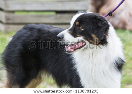 portrait of Border Collie dog on a walk in belgium #1138981295