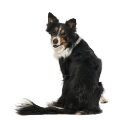 Portrait of Border Collie dog sitting and looking back against white background