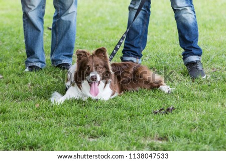Portrait of Border Collie on a walk and fresbee dog training in Belgium #1138047533