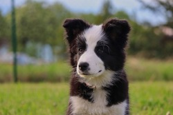 Portrait of Border Collie Puppy in the Garden of Czech Republic. Cute Black and White Puppy with its Innocent Look.