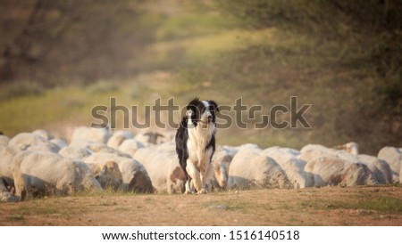 Portrait of border collie with herd of sheep Stockfoto ©