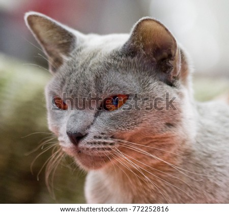 Portrait of British cat shorthair with blue gray fur. Cute pensive blue british cat with copper eyes. Noble proud european british cat makes sorrow face. British cat asking for a snack.