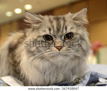 Portrait of British Longhair cat #367458047
