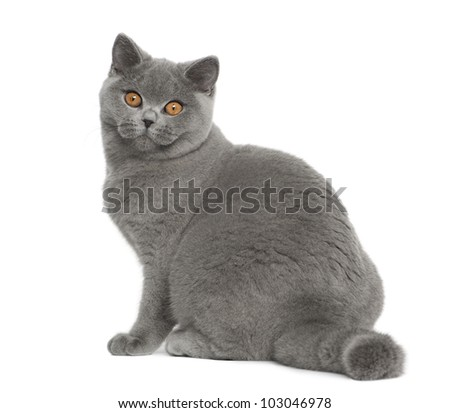 Portrait of British Shorthair cat, 5 months old, sitting in front of white background