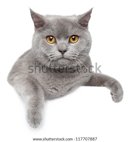 Portrait of British Shorthair cat on a white banner