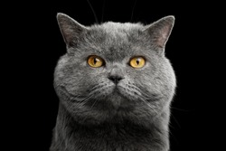 Portrait of British shorthair grey cat with big wide face on Isolated Black background, front view