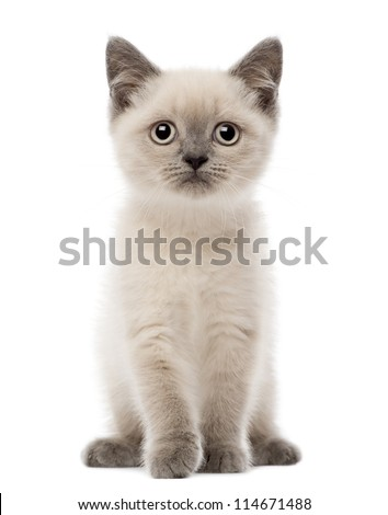 Portrait of British Shorthair Kitten sitting, 10 weeks old, against white background