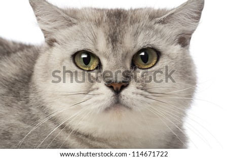 Portrait of British Shorthair, 3 years old, against white background