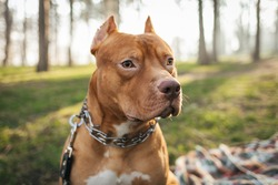 Portrait of brown American pitbull terrier in outdoors in the forest. Best  friend for people Pet frendly concept