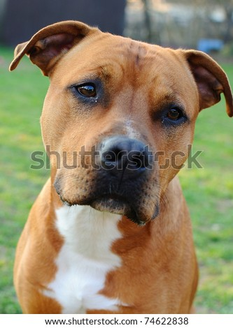 Portrait of brown American Staffordshire bull terrier in garden.