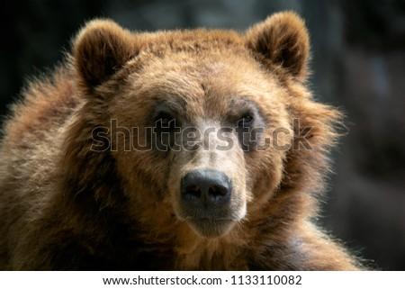 Portrait of brown bear (Ursus arctos beringianus). Kamchatka brown bear. #1133110082