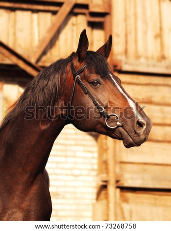 portrait of brown breed sportive stallion - stock photo