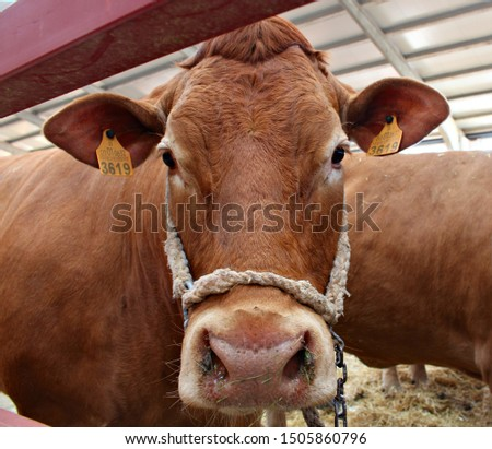 Portrait of brown cow, limousine breed, looking at the camera #1505860796