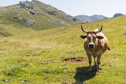 Portrait of brown cow with big horns standing outdoors against mountains on sunny day in highlands at Lagos de Saliencia- Asturias- Spain