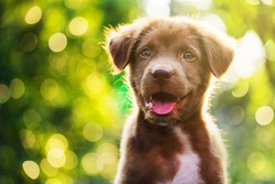 Portrait of brown cute Happy Labrador retriever puppy with sunset bokeh foliage abstract background. Adorable smile dog head shot with green spring tree leaf with copy space to add text.