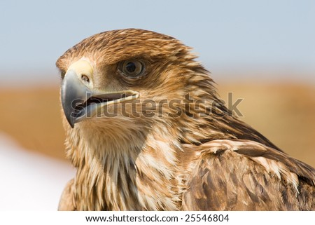 Portrait of brown falcon by close up