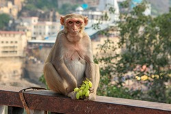 Portrait of brown Indian female monkey  with staring look sitting on the bridge, holding green seedless grapes against temple background, Omkareshwar, Madhya Pradesh, India.