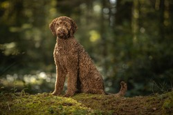 Portrait of brown labradoodle dog in forest