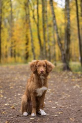 Portrait of brown nova scotia duck tolling retriever. Pretty puppy sitting in autumn forest. Selective focus on dog face. Domestic animals concept. Blurred forest on background.