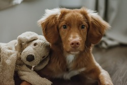 Portrait of brown puppy of nova scotia duck tolling retriever lying next to his toy and looking at the camera. Selective focus on dog eyes. Smart pet look. Domestic animals concept.