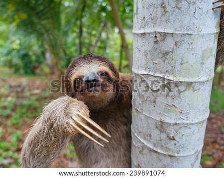 Portrait of brown-throated three-toed sloth on a tree, Panama, Central America #239891074