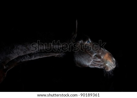 Portrait of Budenny breed horse on black background