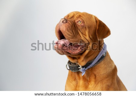 Portrait of burgundy bulldog smiling looking up- purebred dog #1478056658