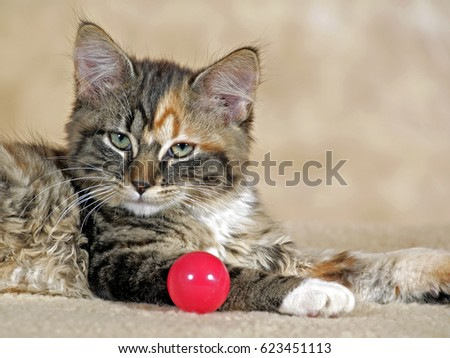 Portrait of Calico Kitten,  with red ball. #623451113