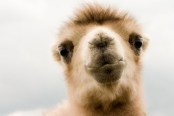 Portrait of camel baby