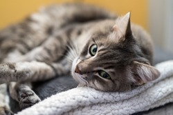 Portrait of cat lying on top of a couch