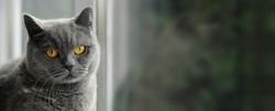 Portrait of cat of British Shorthair breed with blue gray fur sitting on the window sill. Banner. Beautiful domestic pet with yellow eyes. Indoors, copy space, day light.