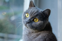 Portrait of cat of British Shorthair breed with blue gray fur sitting on the window sill. Beautiful domestic pet with yellow eyes. Indoors, copy space, day light.