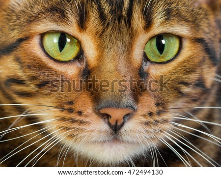 Portrait of cat rare Toyger breed, closeup. Toy tiger. #472494130