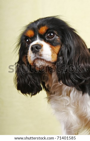 Portrait of cavalier King Charles Spaniel. Shallow DOF