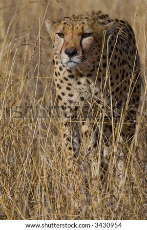 Portrait of Cheetah stalking Prey