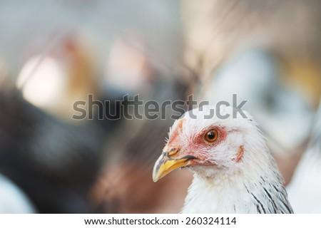 Portrait of chicken. Bird, living on farm. Flock of chickens