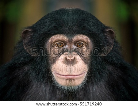 Portrait of chimpanzees. #551719240