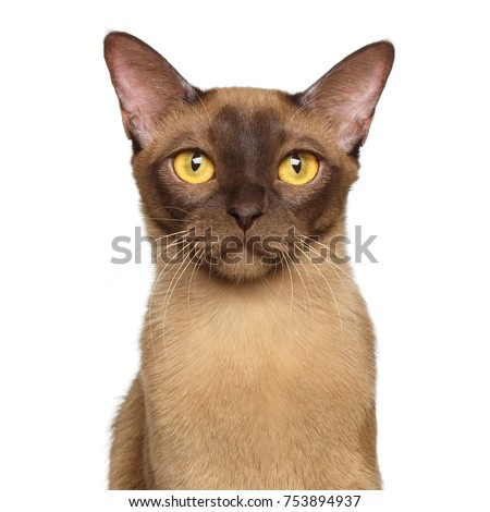 Portrait of Chocolate Burmese Cat Curious Gazing in camera isolated on white background, front view