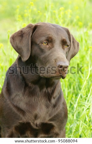 Portrait of chocolate labrador retriever