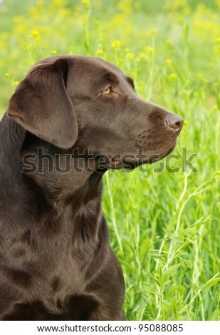 Portrait of chocolate labrador retriever in profile