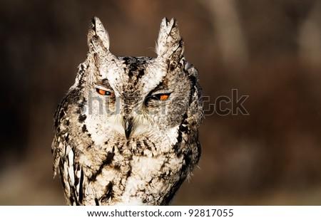 Portrait of collared scops-owl (Otus bakkamoena).