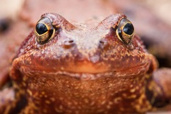 portrait of common brown frog